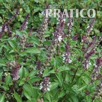 Basilic cannelle fiches de plante jardinage et ext rieur pratico pratique - Ou planter le basilic ...