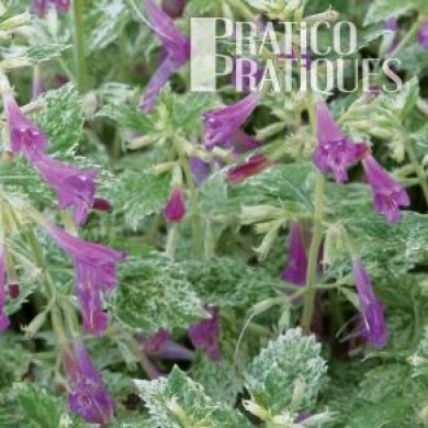 Calament grandes fleurs 39 variegata 39 fiches de plante for Grandes plantes exterieur