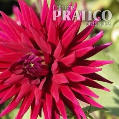 Dahlia 39 belle de vaudreuil 39 fiches de plante jardinage for Belle plante exterieur