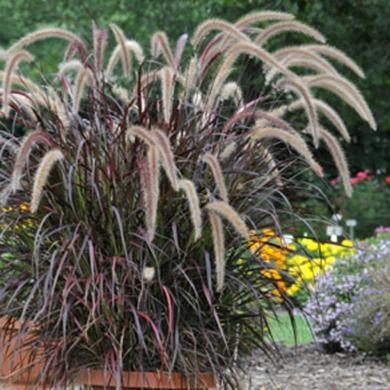 Pennisetum soyeux 39 fireworks 39 fiches de plante for 860 plante st hyacinthe