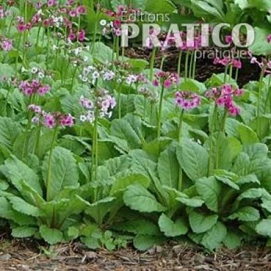 Primev re japonaise fiches de plante jardinage et for Plantes japonaises exterieur