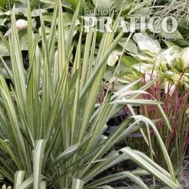 Yucca 39 bright edge 39 fiches de plante jardinage et for Yucca plante exterieur