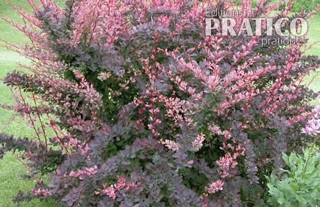 Pine vinette 39 rose glow 39 fiches de plante jardinage for Plante arbuste exterieur