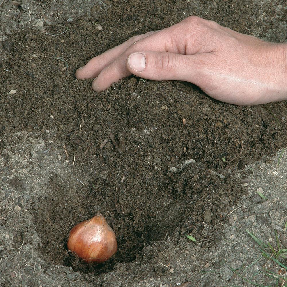 Comment planter des bulbes l 39 automne en tapes jardinage et ext rieur pratico pratique - Comment planter des bulbes ...