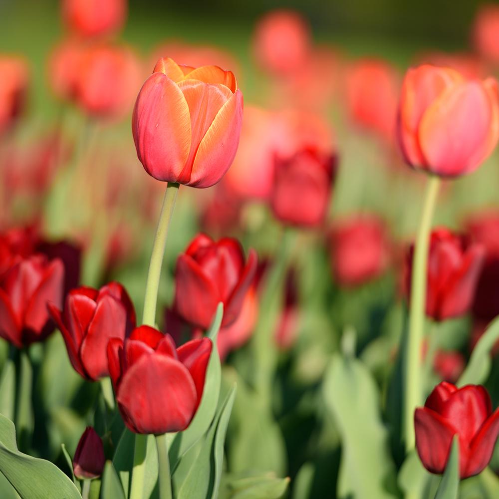 Le meilleur moment pour planter des tulipes et autres bulbes du printemps trucs et conseils - Bulbes a planter au printemps ...
