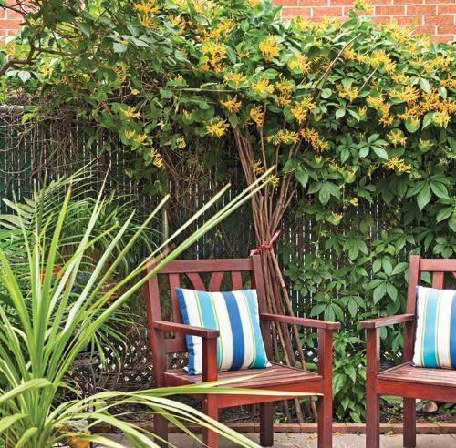 arbre qui pousse vite pour cacher vis vis cordyline australis cordyline australis amnager. Black Bedroom Furniture Sets. Home Design Ideas