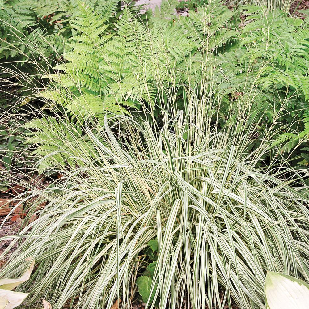 Molinie panach e fiches de plante jardinage et for Plante exterieur sans entretien