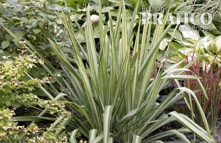 Yucca 39 bright edge 39 fiches de plante jardinage et for Yucca exterieur